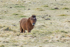 Little Brown Pony In Grass Field Royalty Free Stock Photo