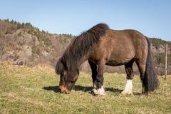 Little Brown Pony Grazing auf einem Feld im Vorfrühling stockbild