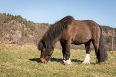Little Brown Pony Grazing on a field in early spring. In Norway in april. Mountain in the background, blue sky stock image