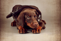 Little brown puppy Doberman lies in a large collar for an adult Stock Photography