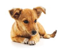 Little brown puppy. Little brown puppy on a white background stock image