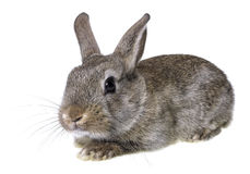 Little brown rabbit Royalty Free Stock Images