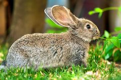 Little brown rabbit eating grass in the farm courtyard Stock Photography