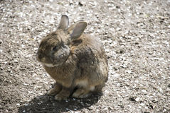Little brown rabbit Royalty Free Stock Photography