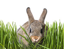 Little brown rabbit in spring grass Royalty Free Stock Photos