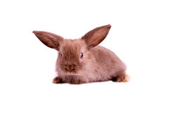 Little brown rabbit on white background Royalty Free Stock Image