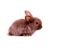 Little brown rabbit on white background Royalty Free Stock Photography