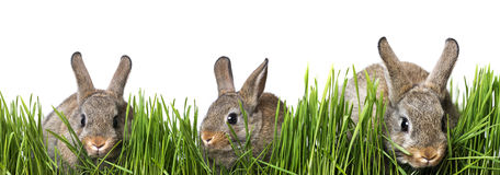 Little brown rabbits Stock Photography