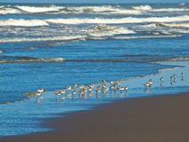 Little Brown Seabirds at the Seashore Stock Photos