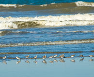 Little Brown Seabirds at the Seashore Royalty Free Stock Images