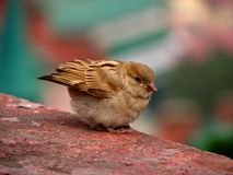 Little Brown Sparrow. Small brown sparrow sitting on a ledge Royalty Free Stock Photos