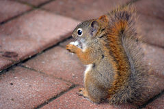 Brown squirrel feeding. Brown Canadian squirrel eating bread on red brick Royalty Free Stock Photo