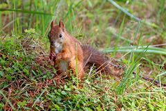 Little brown squirrel hold opened nutshell. Closeup of little brown squirrel sitting in grass and holding a nutshell Royalty Free Stock Photo