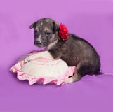 Little brown and white puppy sitting on purple Royalty Free Stock Photography