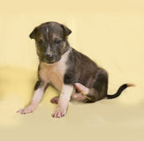 Little brown and white puppy sitting on yellow Royalty Free Stock Photos