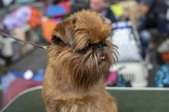 Little Brussels Griffon Dog with his tongue out of his mouth, on a leash. stock image