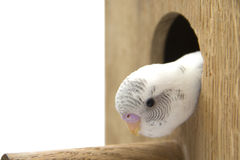 The little budgie is looking of the nest Royalty Free Stock Photo