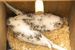 The little budgie is scared in nest Stock Images