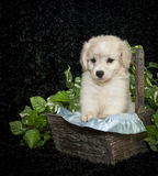 Little Buff Puppy Stock Images