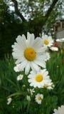 Little bug on chamomile Royalty Free Stock Photo