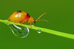 Little bug and dew in the park. S Stock Photos
