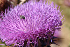 Little bug on thistle. Little bug on a purple thistle Royalty Free Stock Images
