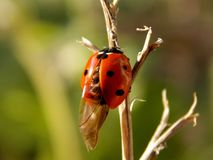 Ladybug. The little bug is trying to fly Royalty Free Stock Photography