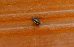 Little bug walking. Over an orange surface. Black insect Stock Photos