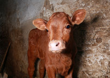 Little bull-calf Royalty Free Stock Photography