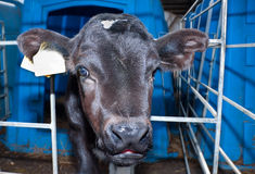 Little bull calf with innocent look royalty free stock photography