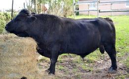 Little Bull Stock Image
