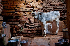 Little Bull stands in an old stone barn for cattle Royalty Free Stock Image