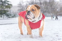 Little bulldog outdoor Stock Image