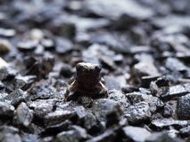 Little Bullfrog Sitting on The Stone Ground. After Rain royalty free stock photos