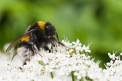 Little Bumble bee busy gathering nectar in summer Stock Photos