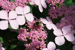 Little Bumble bee on hortensia flowers Royalty Free Stock Image