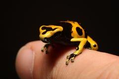 Little Bumblebee Poison Dart Frog baby on finger stock photo