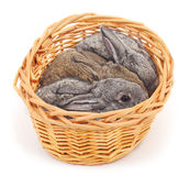 Little bunnies in a basket. Royalty Free Stock Photos