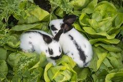 Little bunnies eating salad Stock Photos