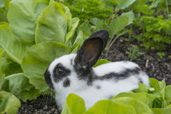 Little bunnies eating salad Stock Photography