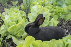 Little bunnies eating salad Royalty Free Stock Images