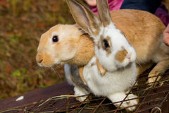 Little bunnies Royalty Free Stock Images