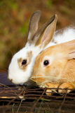 Little bunnies Stock Images