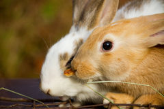 Little bunnies Royalty Free Stock Photography