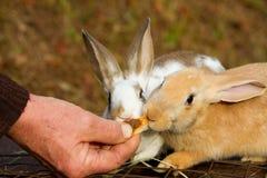 Little bunnies Stock Photography