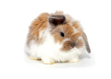 Little bunny Royalty Free Stock Image