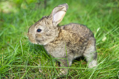 Little Bunny Stock Image
