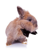 Little bunny gentleman Royalty Free Stock Photo
