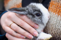 Little bunny in hands Stock Image
