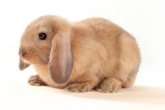 Little bunny isolated on white background. Little rabbit Stock Photo